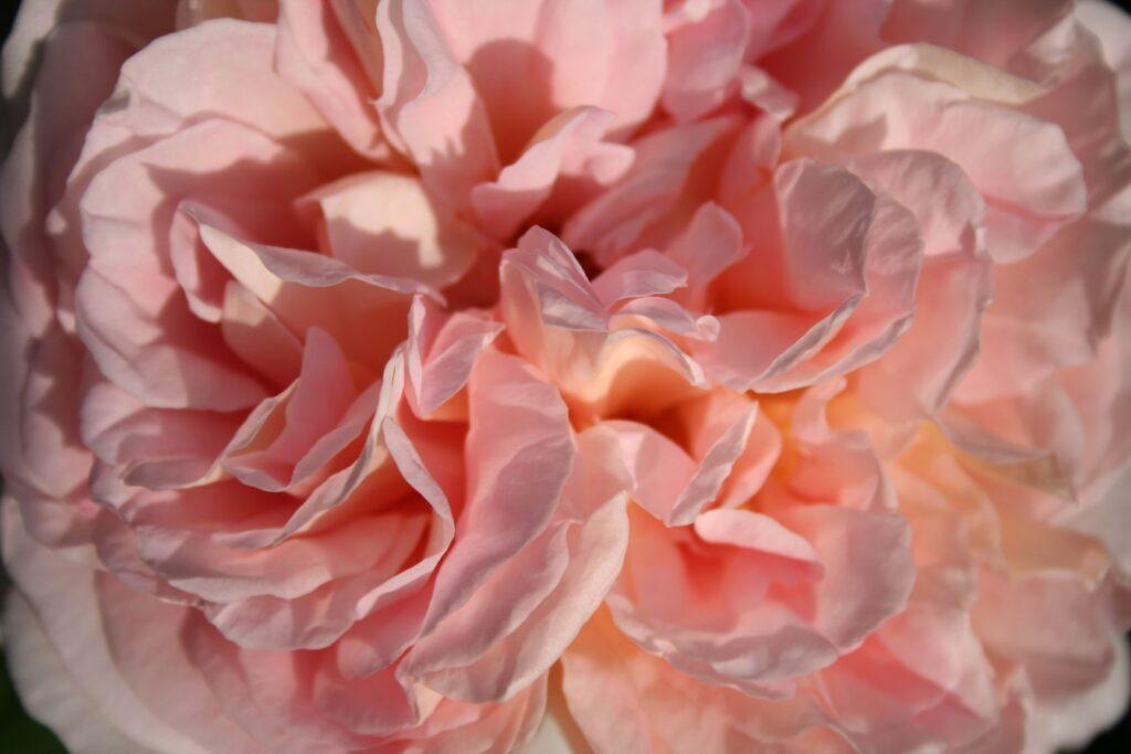 close-up of a rose-golden coloured rose (sort name: abraham darby)